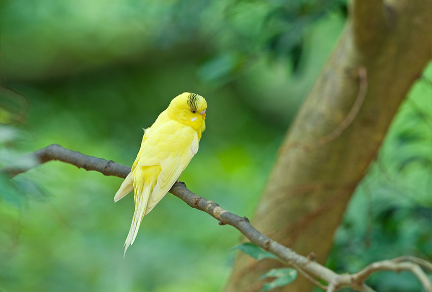 escaped budgie in a tree