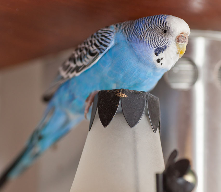 escaped budgie indoors