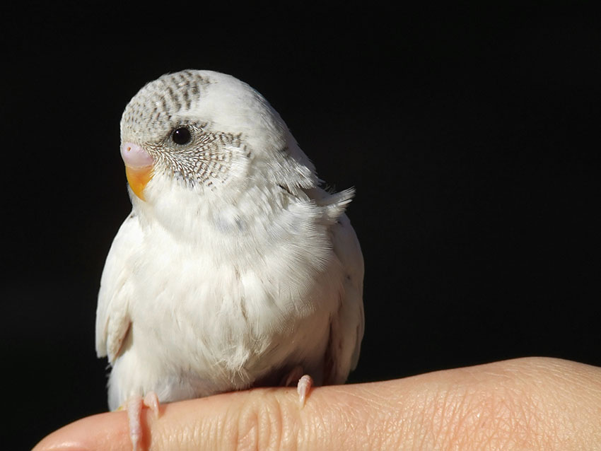 five week old budgie perching on finger