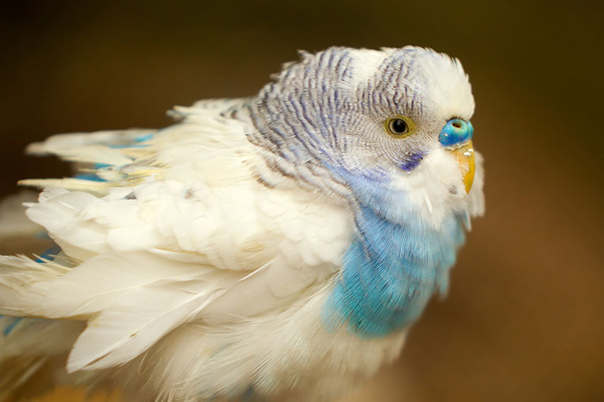 frilled budgie
