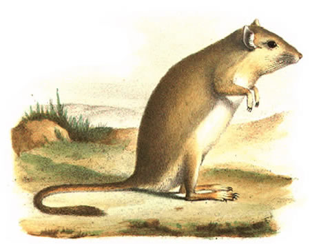The First Depiction of a Gerbil