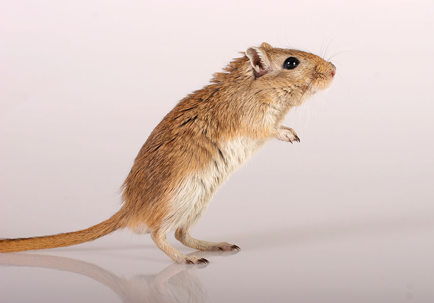 gerbils can be insured