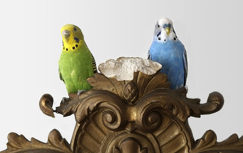 green budgie and blue budgie