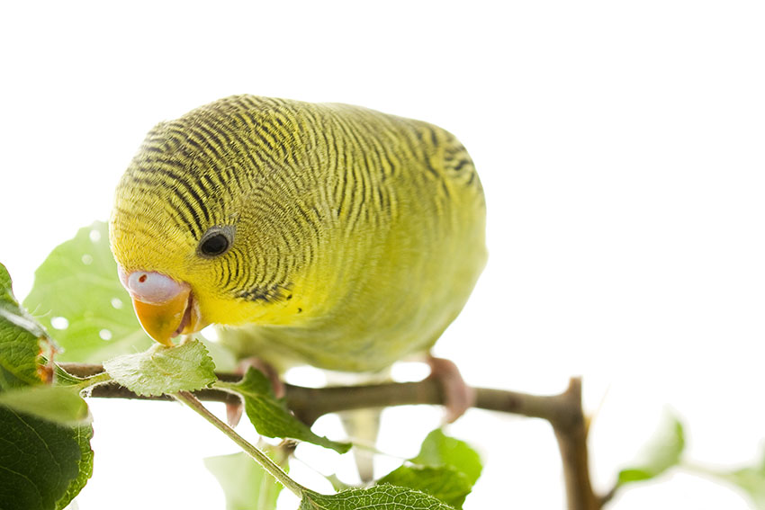 Green budgie eating herbs