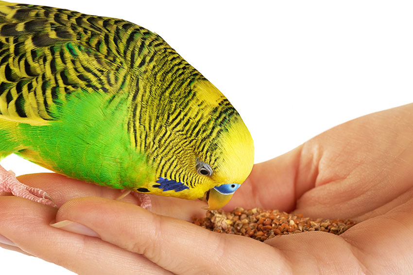 green budgie feeding from hand