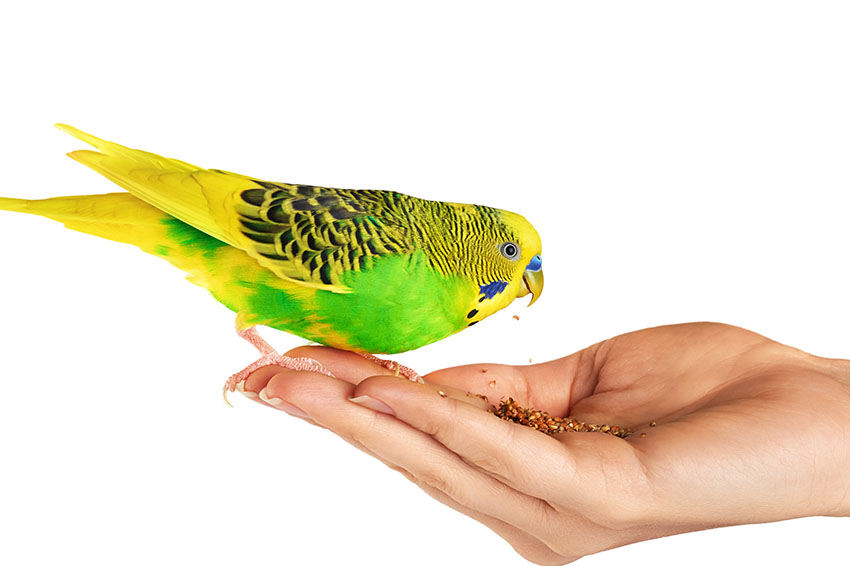 Budgie eating seed from the hand