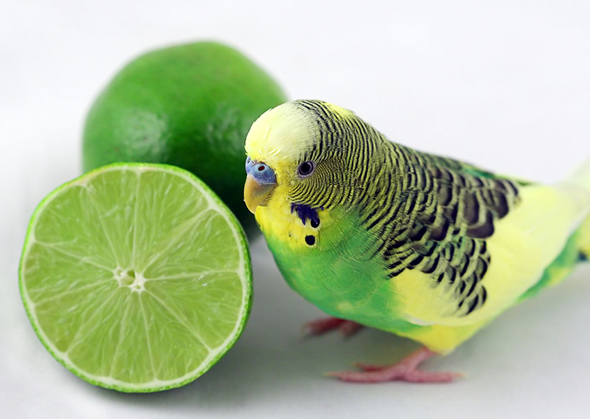 Green budgie with lime