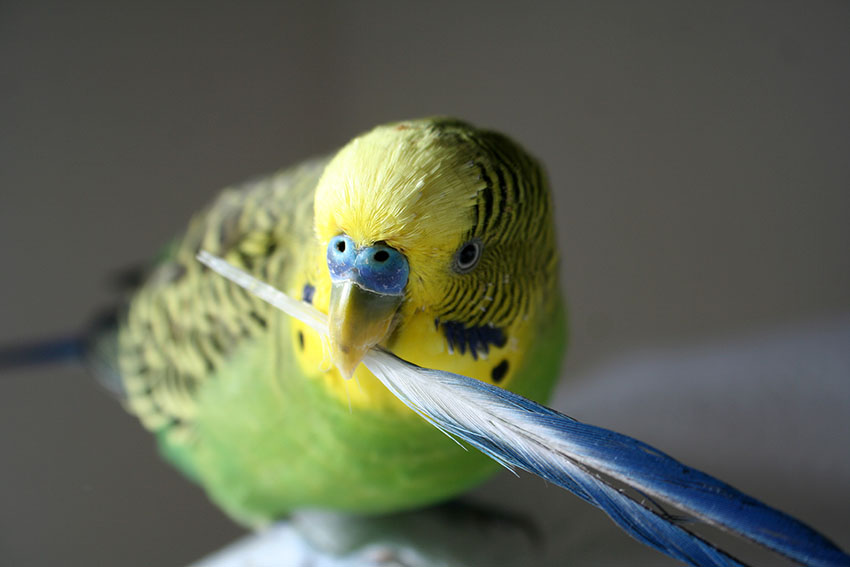 green budgie holding a feather