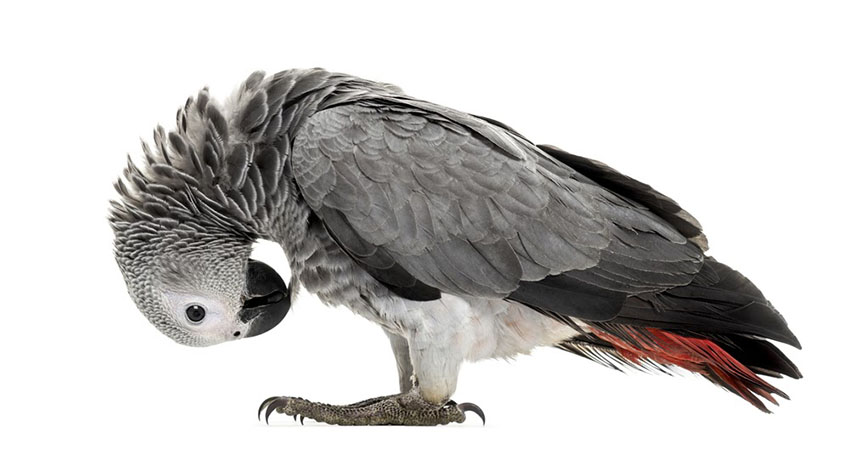 Grey Parrots are long-lived birds