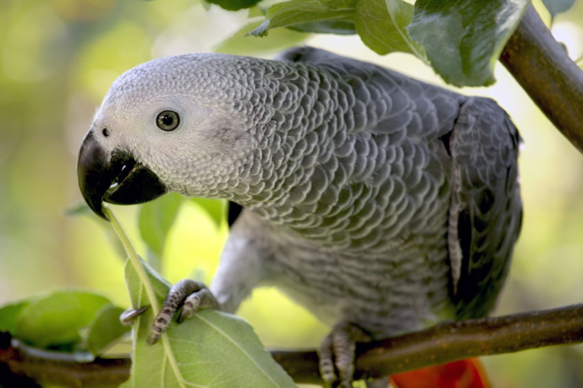 The African Grey is one of many species on the CITES List