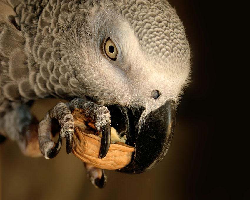 African Grey parrots love nuts