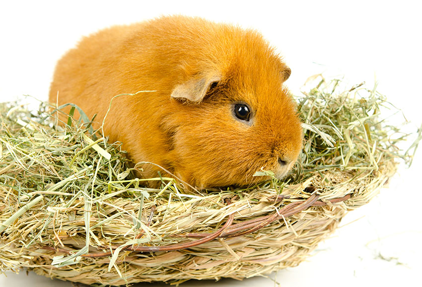 guinea pig on a diet