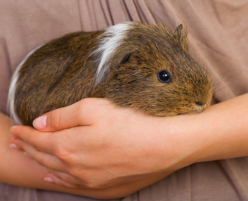 guinea pigs are safest away from other pets