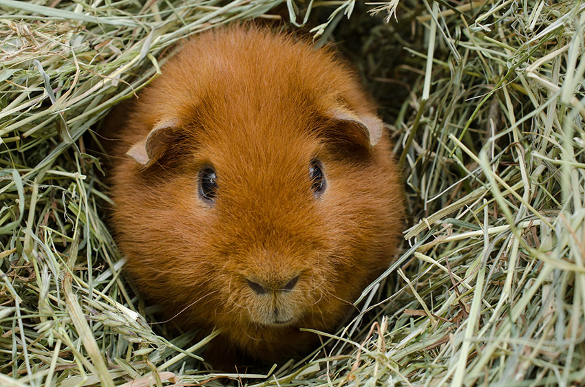 guinea pigs can use litter boxes