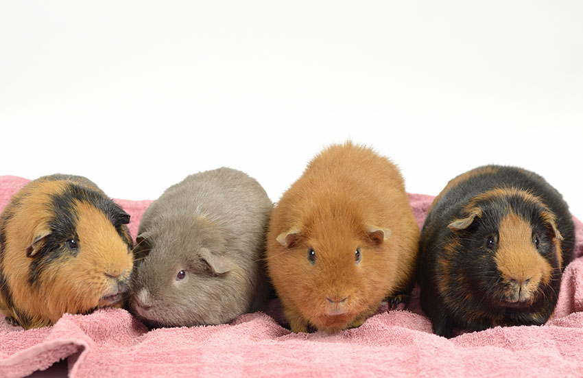 guinea pigs enjoy being indoors during cold weather
