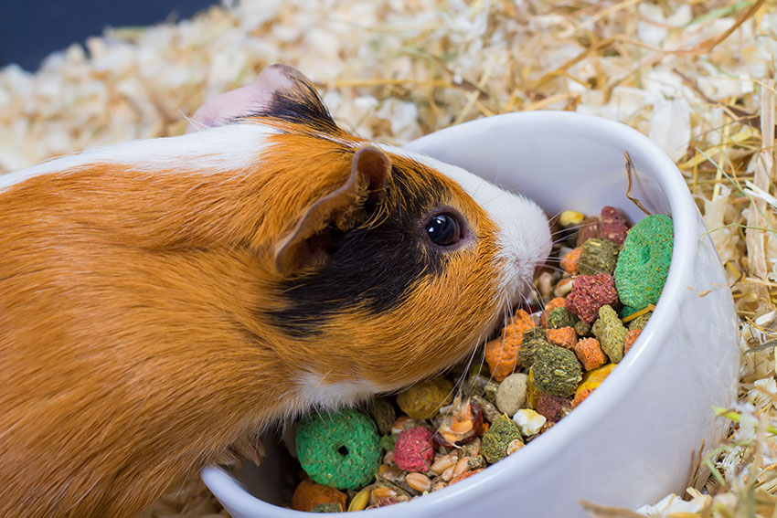 guinea pigs need dry and fresh food