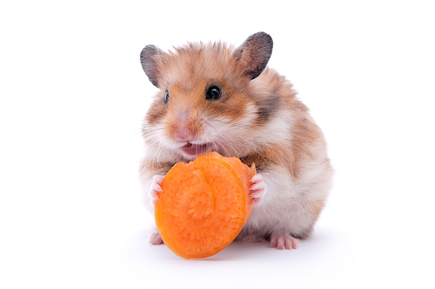 hamsters or mice