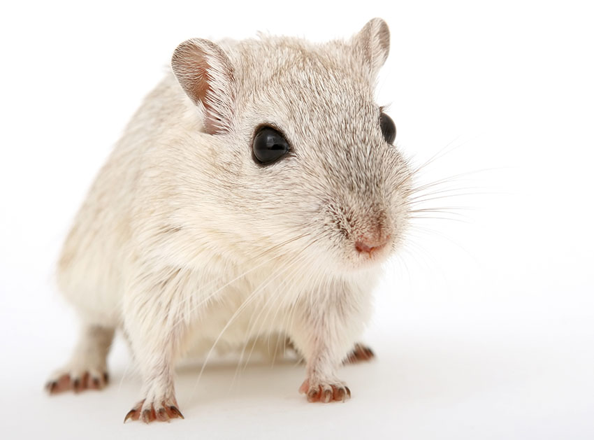 how old is gerbil