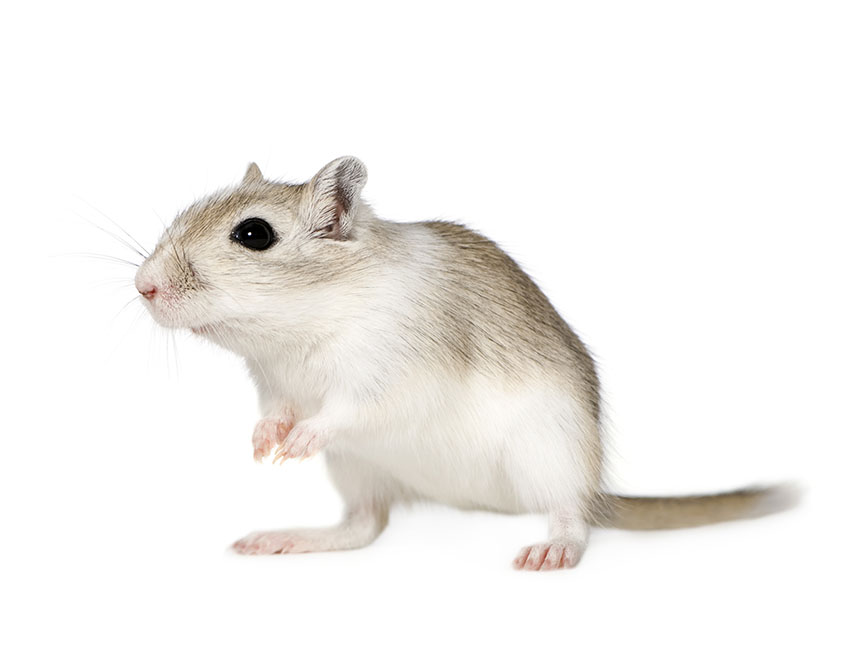 is my gerbil pregnant