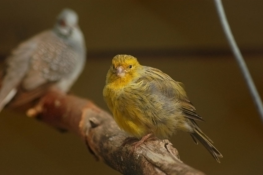 Canaries and other birds
