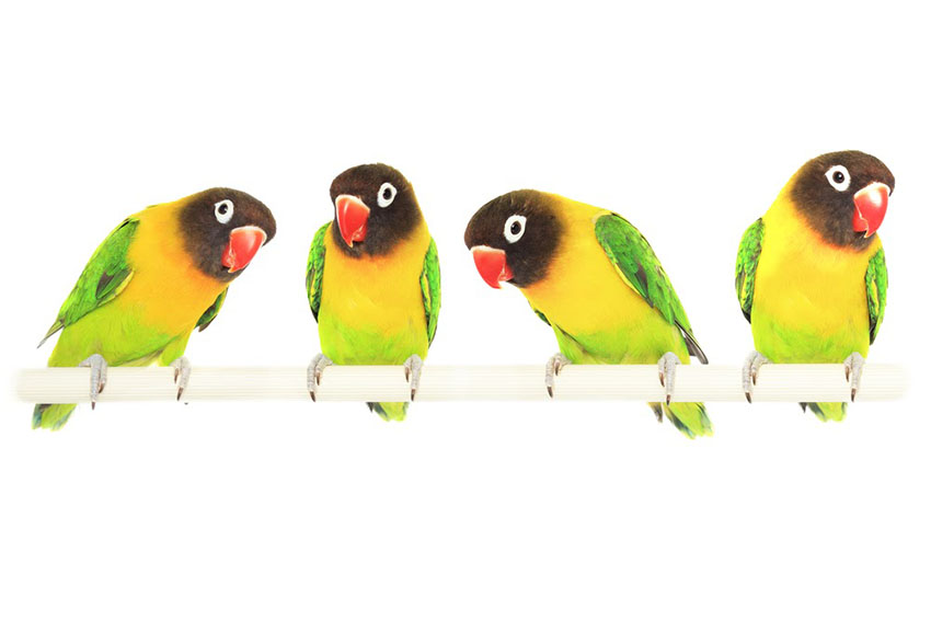 Masked Lovebird - choosing birds when they are still young is advisable