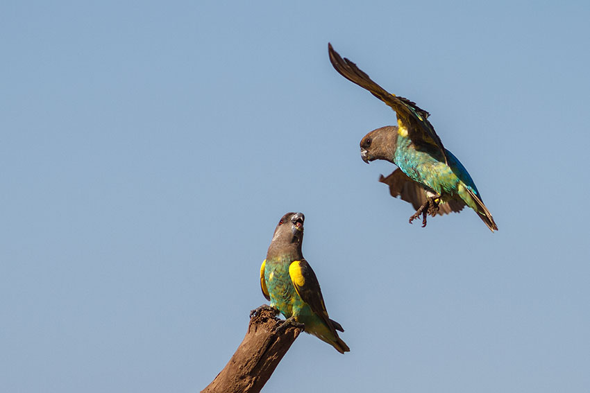 Birds like these wild Meyer's Parrots, can be carriers of various diseases
