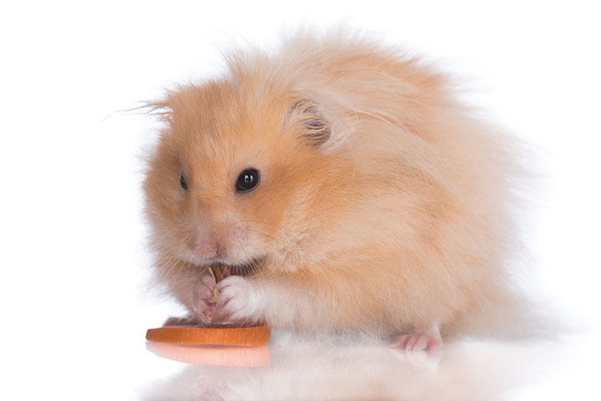 old age hamsters