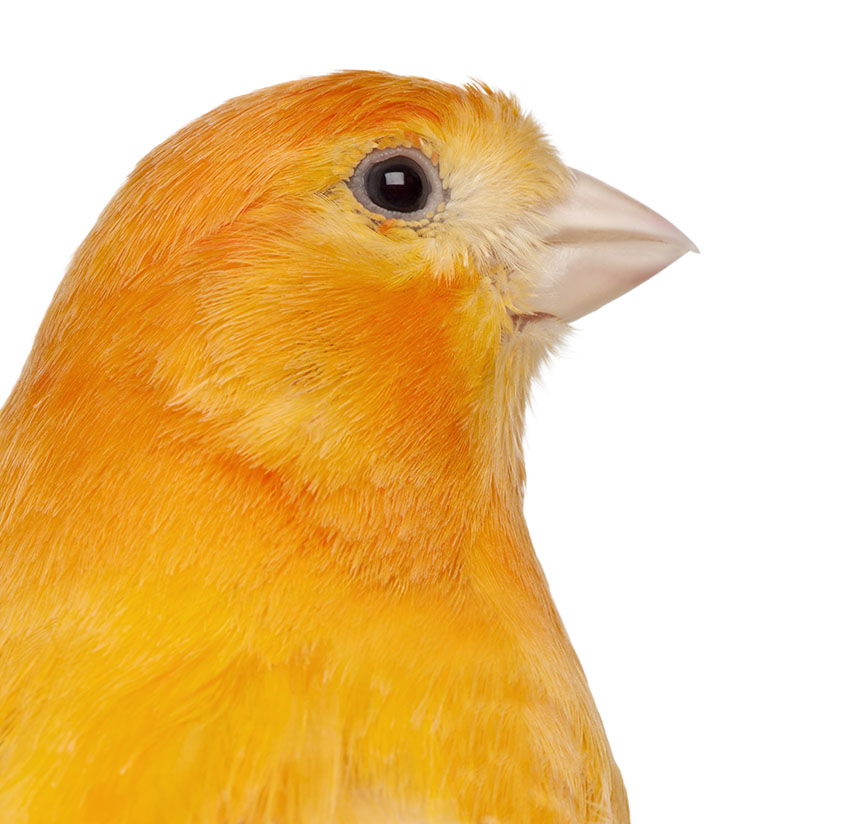 A red-factor Canary