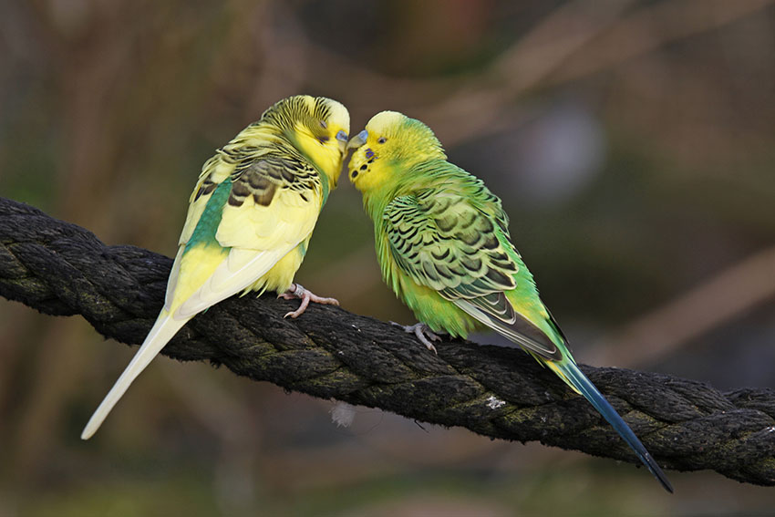 Male budgies can live together happily