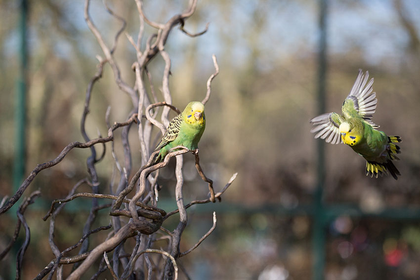 A pair of wild budgies