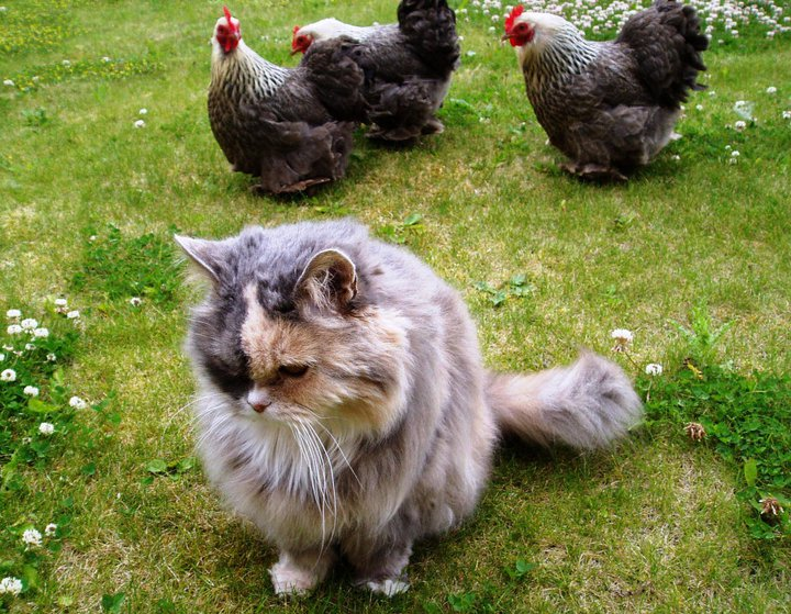 Introducing your new pet chickens to your cats and dogs can be very easy