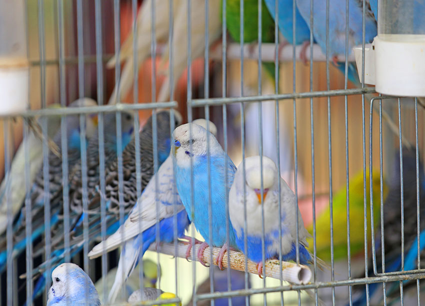 Budgie in a pet shop