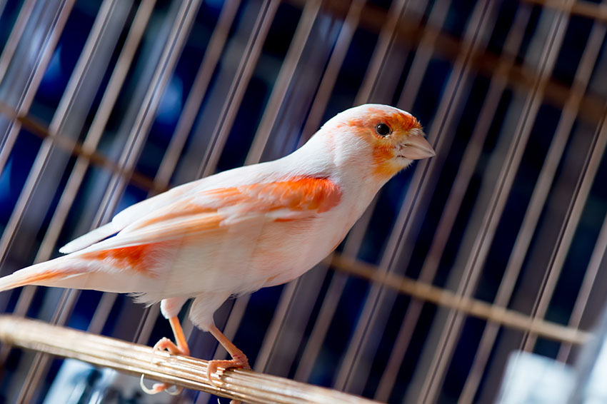 Pied red canary