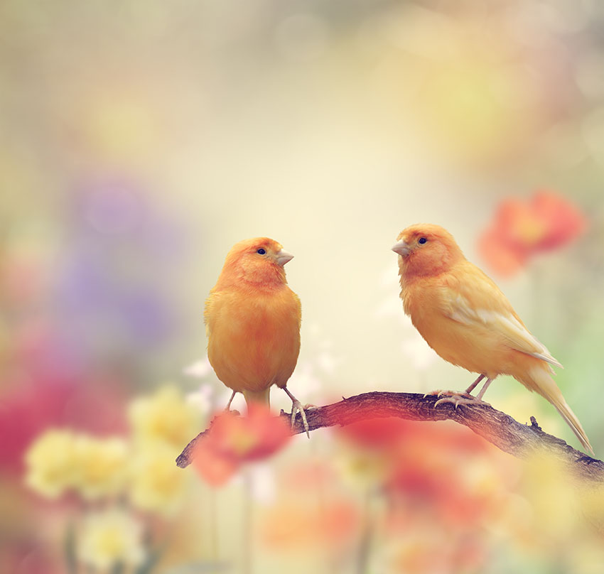 Pink Canaries