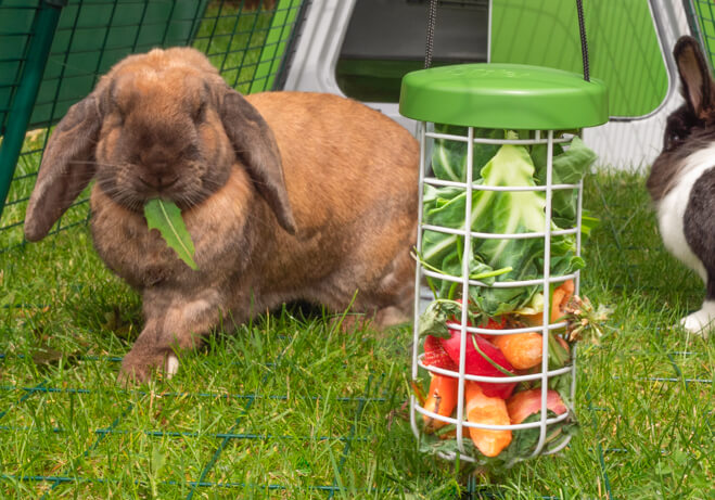 A light brown rabbit eating fruit and vegetables from a Caddi Treat Holder suspended from an Eglu Go rabbit run