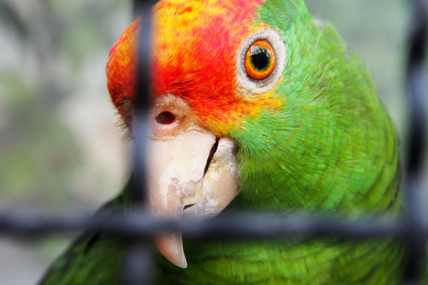 Red-crowned Amazon healthy beak and cere