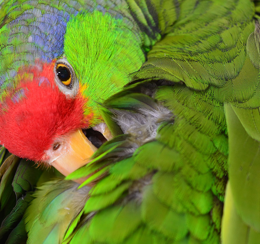 Red-crowned Amazon preening