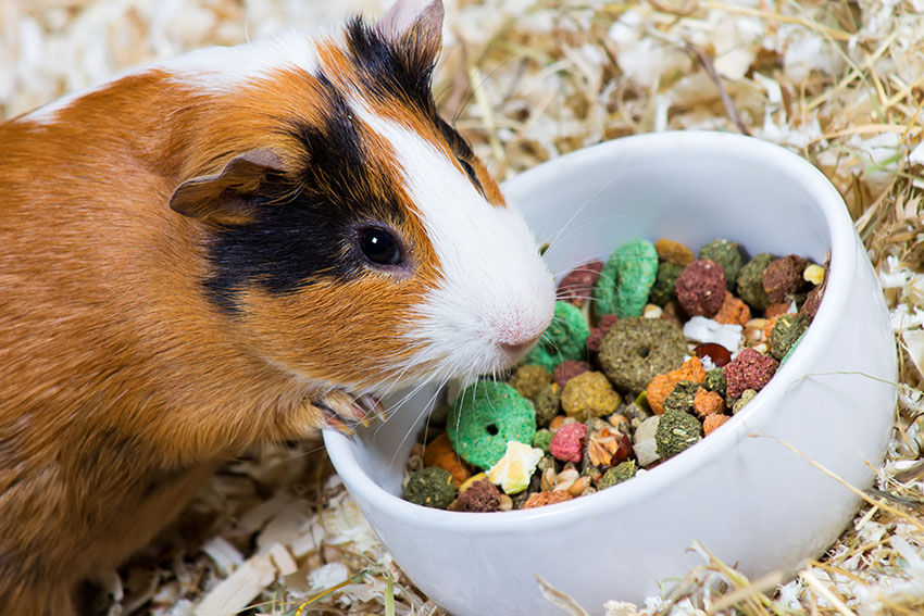 red guinea pig eating dry food