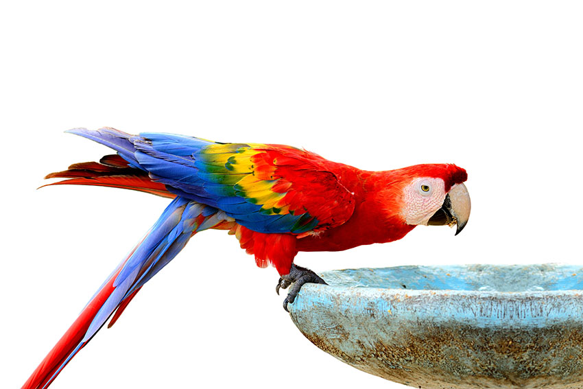 Scarlet Macaw drinking