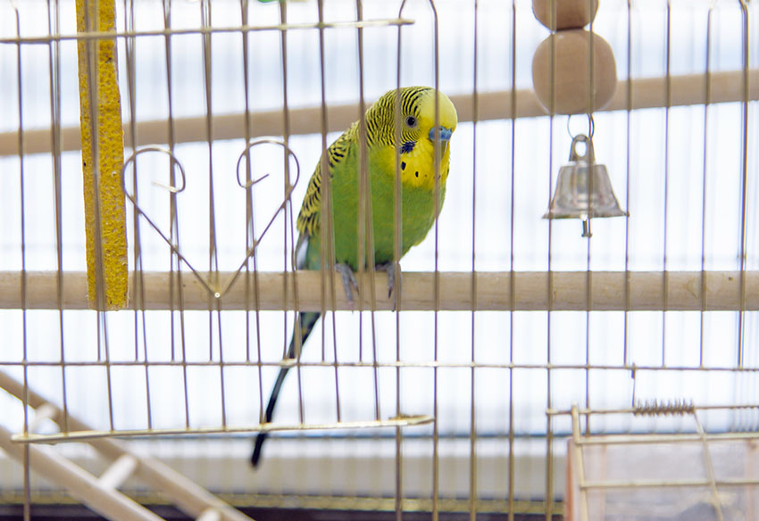 A green budgie in a cage
