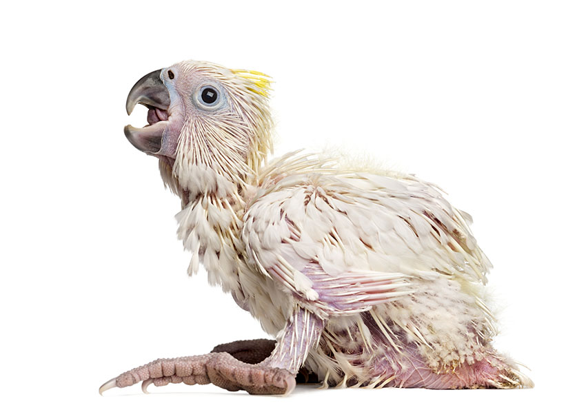Sulphur-Crested Cockatoo at 35 days old