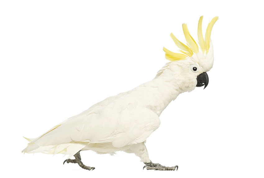 Sulphur-crested Cockatoo likes to be alone