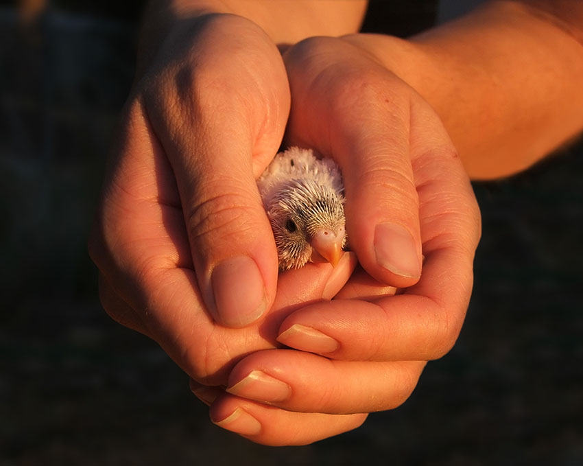 three week old budgie chick