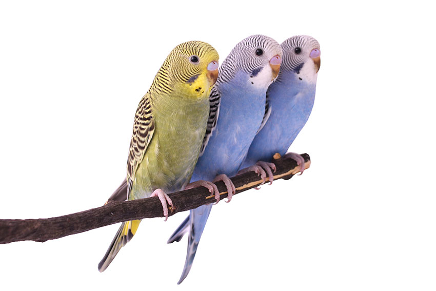 Three young budgies on a perch