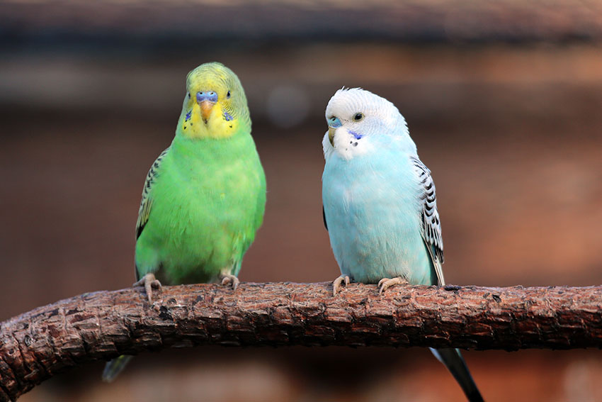 Two budgies on a wooden perch