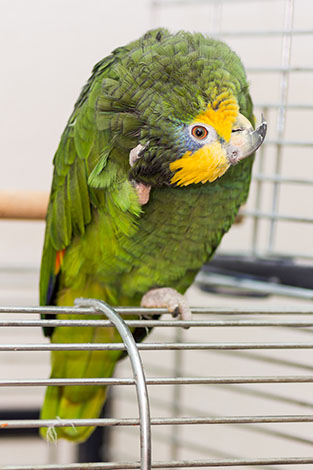 Yellow-headed Amazon in cage