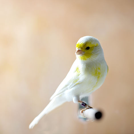 Yellow pied Canary