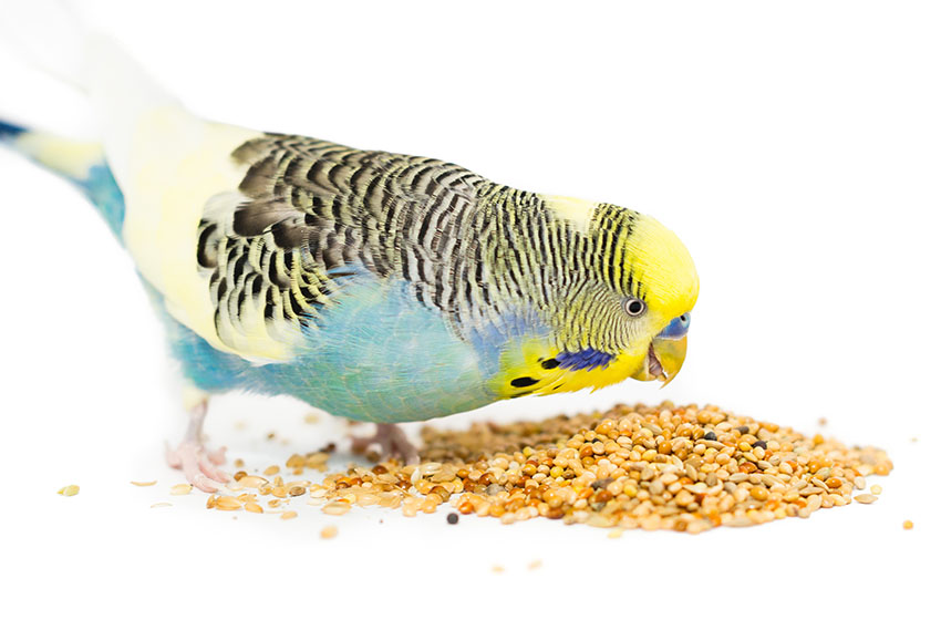 yellow-headed budgie eating seed