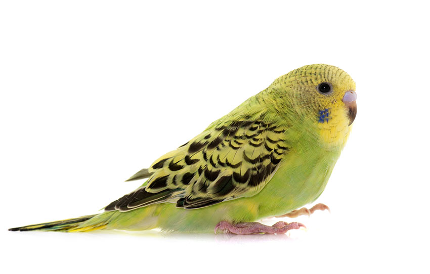Taming a young budgie