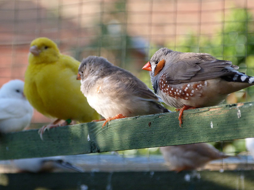 Zebra finch and Canary